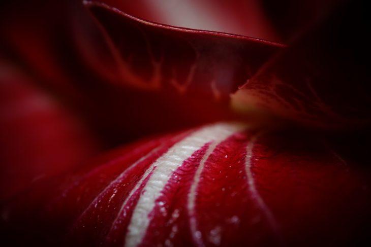 Rosso scuro radicchio macro